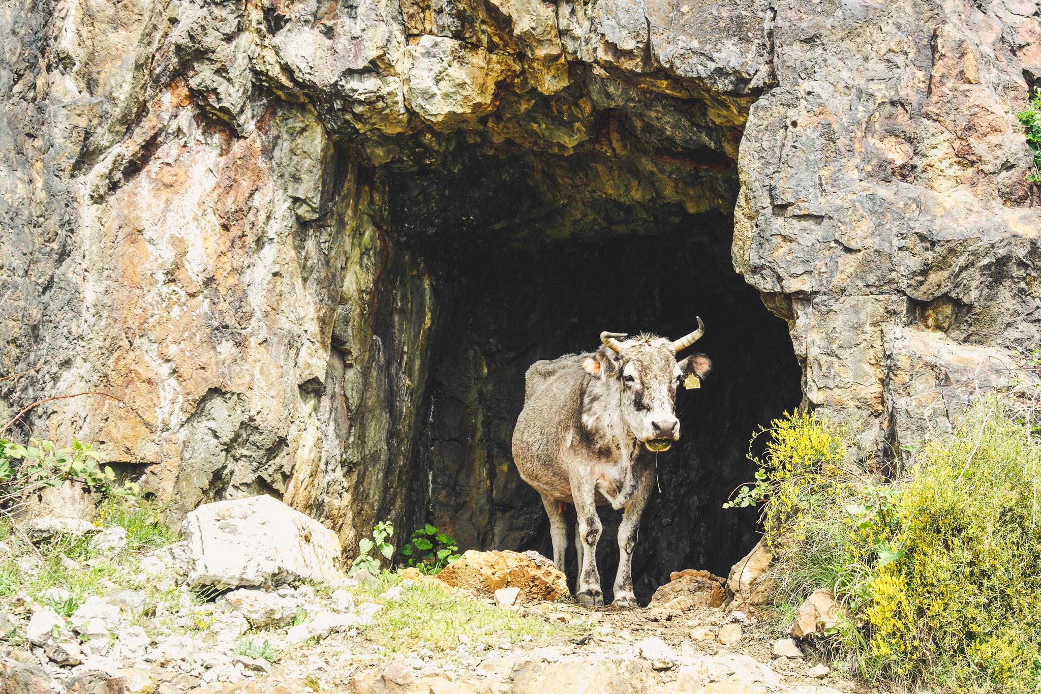 Photos of Bulgaria - Cow!